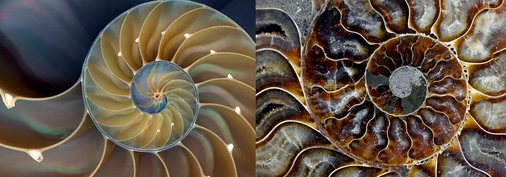 Nautile et ammonite fossile