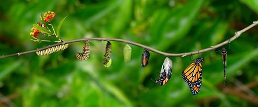transformation of the caterpillar